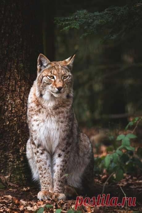 lsleofskye:     lynx   Cloudtail the Snow Leopard    Location: Wildpark Pforzheim, Baden-Württemberg, Germany