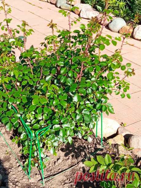 Слепые побеги - враги цветения розовых кустов. Как исправить и что это вообще за проблема | Цветочная няша | Яндекс Дзен