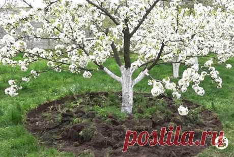 Делаю полив и подкормку цветущих деревьев, чтобы сохранить больше завязей. Поделюсь своим опытом | Секреты бывалого дачника | Яндекс Дзен