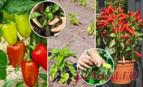 Secrets of landing and cultivation of pepper in soil, the greenhouse and houses | On a bed (Огород.ru)