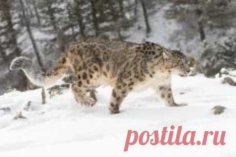 """Сегодня 26 мая отмечается """"День снежного барса на Алтае"""""""