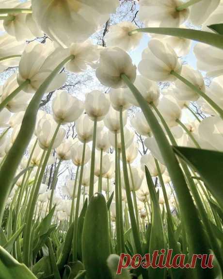 ✿·•●...√ Тюльпановый лес