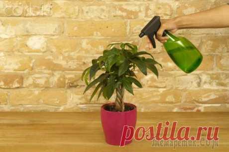 Полив и подкормка комнатных растений весной
