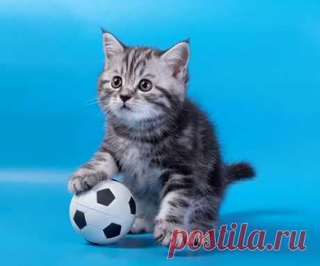 Серый котёнок с футбольным мячом на голубом фоне