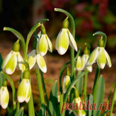 Многолетний садовый цветок Подснежник (Galantus). Семейство: амариллисовые (Amarillidaceae)  Синонимы: первоцвет  Луковичный травянистый многолетник высотой от 8 до 20 см с изящными пониклыми белыми цветками. Цветет в апреле.  Основные виды Наиболее распространены в культуре: п.белоснежный (G.nivalis) - высотой 12-15 см; с сизыми линейными листьями; цветки одиночные, диаметром 2,5 см. Цветет 20 дней. П.кавказский (G.caucasicus) - высотой 7-10 см; с сизыми линейными листьями.