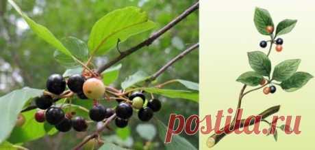 Крушина ольховидная (лат. Frangula alnus) | Рецепты народной медицины