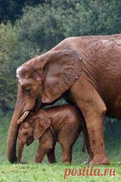 Мама укрывает слоненка от дождя