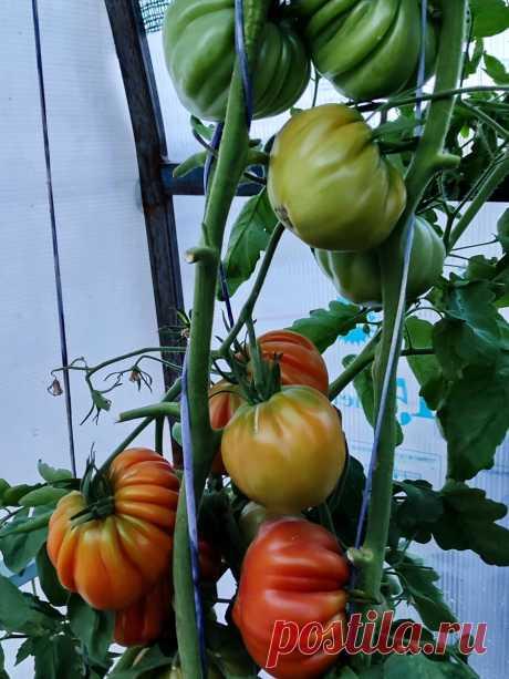 """Как в Китае выращивают помидоры """"для себя"""". Повторил их способ и теперь один вопрос: куда деть столько урожая  Ну, тогда у нас просто будет много помидоров. И всё."""