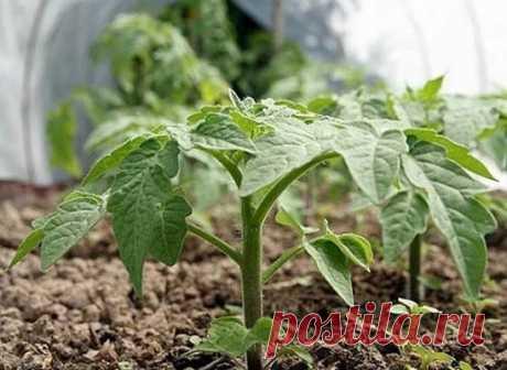Маленькие томатные хитрости  За 2-3 дня до высадки в грунт рассады томатов у рассады срезают нижние 2-3 листочка. Первые примерно 2 недели после высадки в грунт желательно не поливать- при этом корневая система будет развиваться в грунт и растения будут меньше страдать от засушливых периодов. Оптимальное время для удаления пасынков у томата, когда они дорастут до 5 см. Для лучшего образования плодов томаты при цветении опрыскиваю борной кислотой- 5 граммов на 10 литров воды. Чтобы рыльце пе
