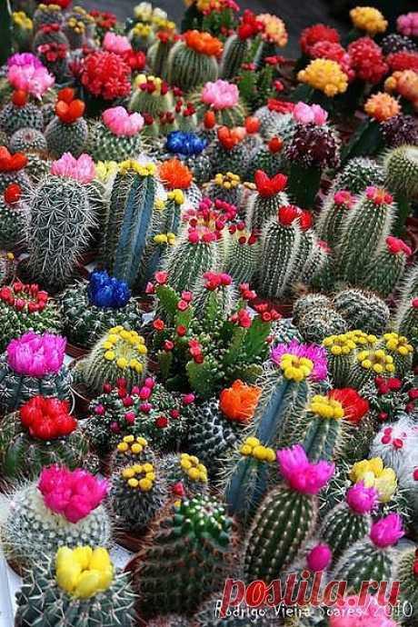 А аромат цветов! Пахнут, правда, не все кактусы, но какое богатство запахов у цветущих растений! В книге Бакеберга «Wunderwelt Kakteen» приводятся сведения о 41 душистом виде кактусов, цветки которых обладают запахом ванили, сирени, ландыша, цитрусовых, жасмина. Цветы кактусов пахнут даже петрушкой, яблоками и пивом. — Ростислав Седых, «Тайна художников майя»