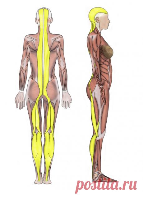 Задняя поверхностная линия: почему трудно дотянуться до коленей