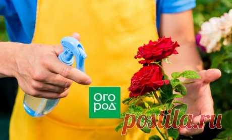 Ошибки, которые вы совершаете при выращивании роз   В цветнике (Огород.ru)