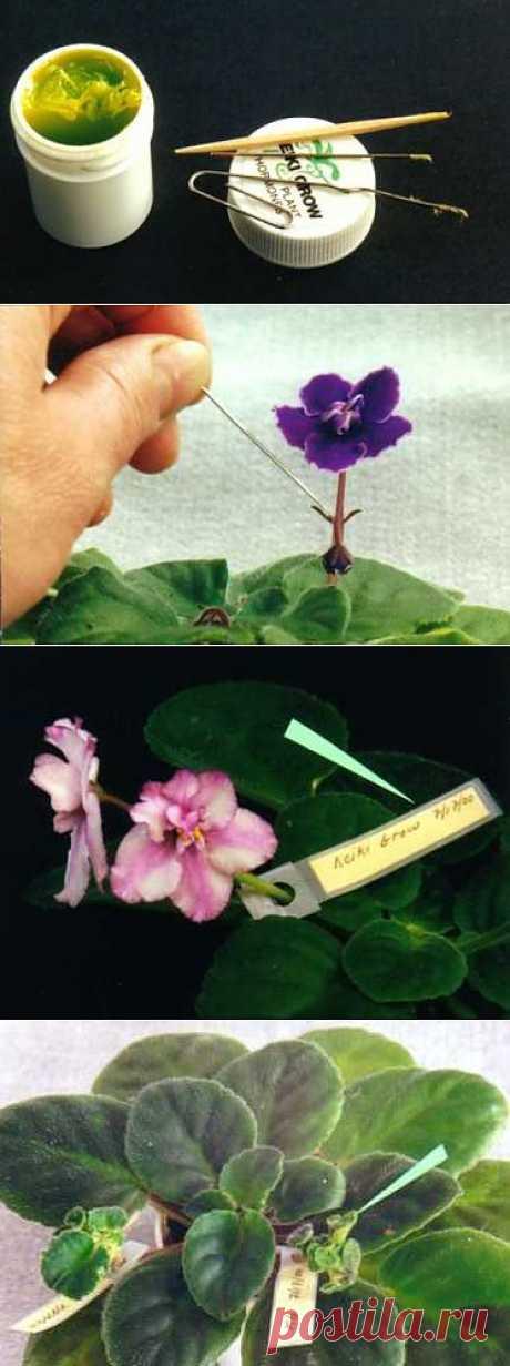 Пособие по размножению африканских фиалок-химер с использованием гормона роста «Keikigrow Plus»