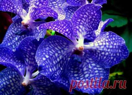 Если вы жаждете узнать всё об удивительных орхидеях Ванда, получить дельные советы по уходу за цветами, рассмотреть их красоту на фотографиях и видео, то читайте далее. Источник: https://podomu.info/comfort/plants/bloomy/orchids/phalaenopsis/sorta-i-vidy/orkhideya-vanda.html
