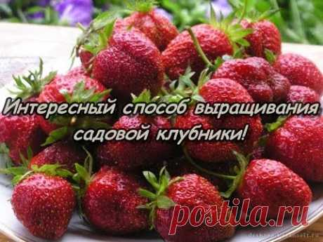 Interesting way of cultivation of GARDEN STRAWBERRY!
