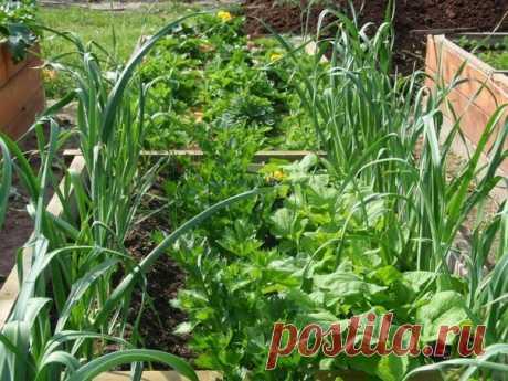 ОВОЩИ — ХОРОШИЕ И ПЛОХИЕ СОСЕДИ  Овощи — хорошие соседи  для огурцов — фасоль, чеснок, капуста, лук;  для чеснока — огурцы, морковь, помидоры;  для моркови — капуста, редис, свекла, помидоры, но лучше всего лук;  для помидоров — чеснок, капуста, лук, редис.  Овощи — плохие соседи  для огурцов — редис, помидоры;  для чеснока — фасоль, горох, капуста;  для помидоров — огурцы, горох, картофель. Огородные хитрости https://ogorodko.ru/kak-izbavitsya-ot-sliznyakov-na-k..