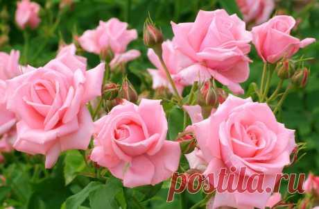 Как подкармливать розы - все виды удобрений » Женский Мир