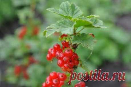 Красная смородина - полезные свойства и противопоказания, лечебные рецепты - Lechilka.com