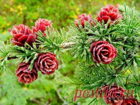 Цветущая роза Якутии