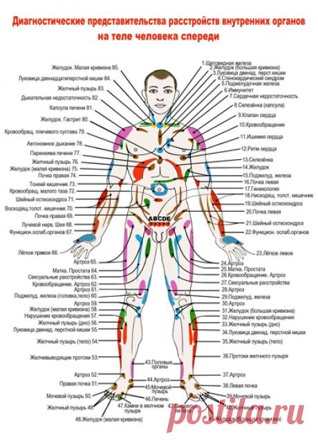Проекционные зоны Захарьина-Геда со стороны живота