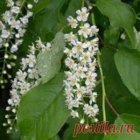 Лечебные свойства черемухи обыкновенной