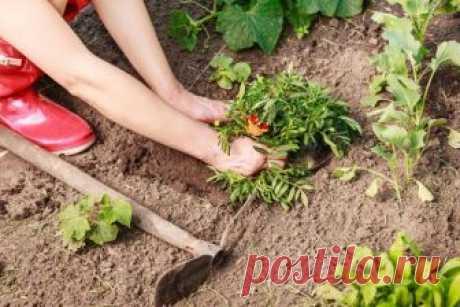Как обновить и размножить садовые многолетники весной | Прочие многолетники (Огород.ru)