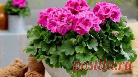 Пеларгония (герань ) готовим к зиме . Как стричь пеларгонию( герань ) для пышного цветения 🌸