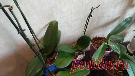 Как я бужу спящие почки у Орхидеи. Пошаговая инструкция как без проблем Размножить прекрасный цветок | Все о цветоводстве | Яндекс Дзен