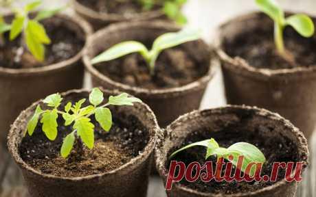 15 ошибок при выращивании рассады, которые мы допускаем чаще всего | На грядке (Огород.ru)