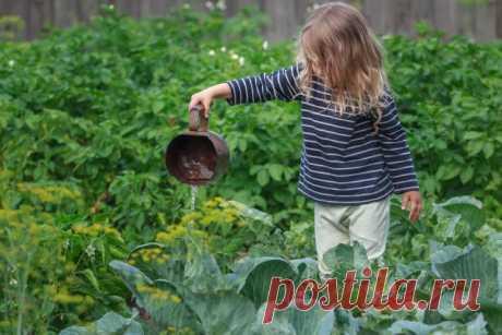 Желтеют листья у капусты – почему так происходит и что делать