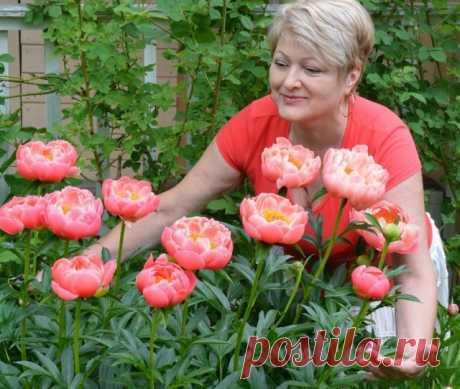 Выращивать пионы – сплошное удовольствие! | Личный опыт (Огород.ru)