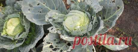 Болезни и вредители капусты: описание, фото, методы борьбы и лечения