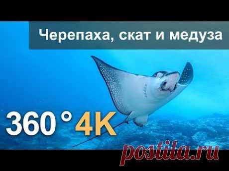 360°, Дайвинг с черепахой, скатом и медузой. 4К подводное видео. Русская озвучка - YouTube
