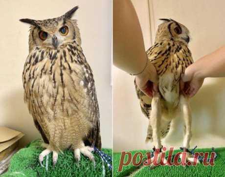 А вы знали, что совы имеют пару стройных ног под пухом?