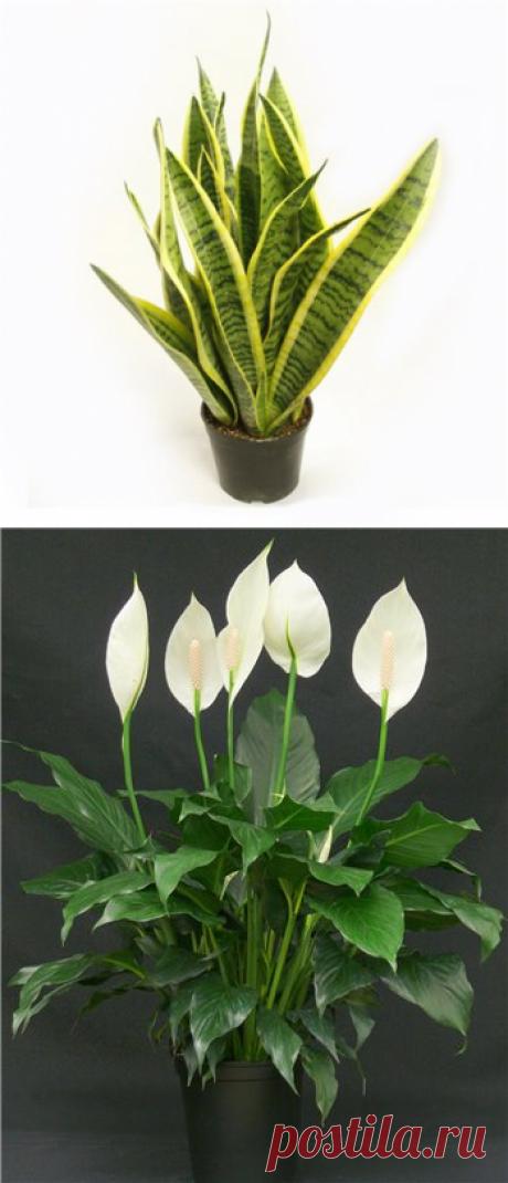 Эти растения сберегут ваше здоровье. - Комнатное цветоводство - ГОРНИЦА -блоги, форум, новости, общение