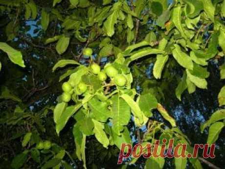 La nuez (árbol): la descripción y la área de la difusión, la plantación y la partida