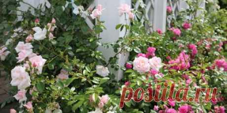 Тля на розах: как избавиться от нее? - ответы экспертов 7dach.ru