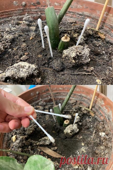 Научился с умом применять ватные палочки в садоводстве. Теперь все мои друзья только так выращивают свои растения | САДОВОДУС | Яндекс Дзен