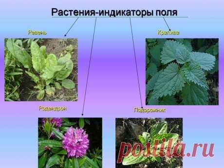 Растения, которые расскажут о кислотности почвы без лабораторных анализов: кислотные показатели, индикаторы