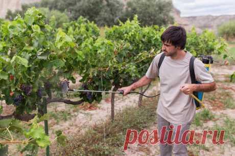 Что нужно винограду? Какие сигналы он вам подает? | Виноград и Виноделие | Яндекс Дзен