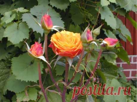 ПОДКОРМКА ДЛЯ РОЗ: РАСКРЫВАЮ СЕКРЕТЫ БУЙНОГО ЦВЕТЕНИЯ  Совсем не зря розу называют королевой цветов — яркие и ароматные бутоны поражают своей красотой и разнообразием расцветок. Но чтобы розы как можно дольше радовали пышным цветением, за ними нужно правильно ухаживать, в частности, правильно подкармливать.  Подкормка для роз Показать полностью…