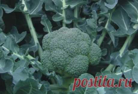 Семена капусты брокколи ЛОРД (100 штук) | Низкая цена на семена капусты брокколи ЛОРД