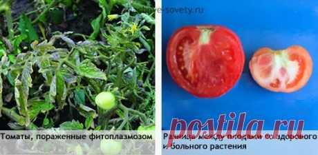 Почему внутри у помидоров белые жесткие прожилки или твердая сердцевина