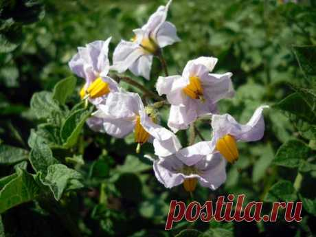 Features of watering of potatoes on a kitchen garden