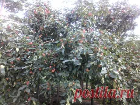 Формирование саженцев плодовых деревьев   уДачный проект   Яндекс Дзен