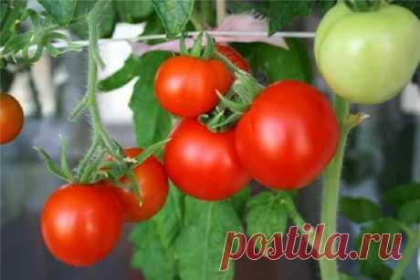 Как увеличить урожай помидоров? Как увеличить урожай помидоров?Для получения высокого урожая помидоров обязательно необходимо придерживается технологии выращивания, а так же знать когда и чем удобрить растение.Помидоры по своим сорт...