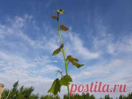 Летняя чеканка (укорачивание) побегов винограда. Ответы на вопросы (зимующая почка, тапенер).