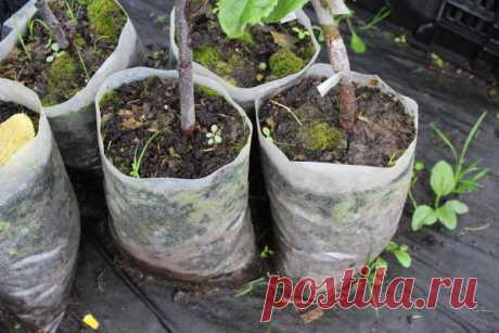 La compra y la plantación de los plantones frutales: pitomnikovod cuenta