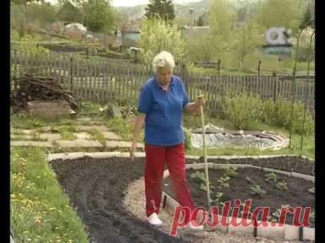 Голова садовая. Как ухаживать за луком в июне