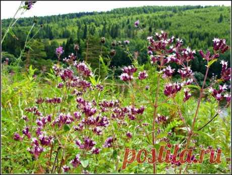 Август и сентябрь — пора сбора лекарственных трав. Какие травы засушить на зиму?